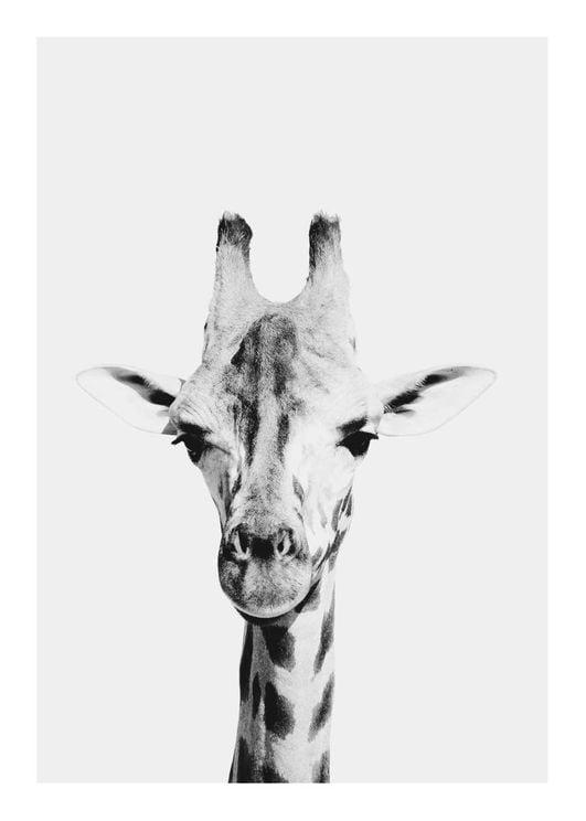 Animal Front Giraffe