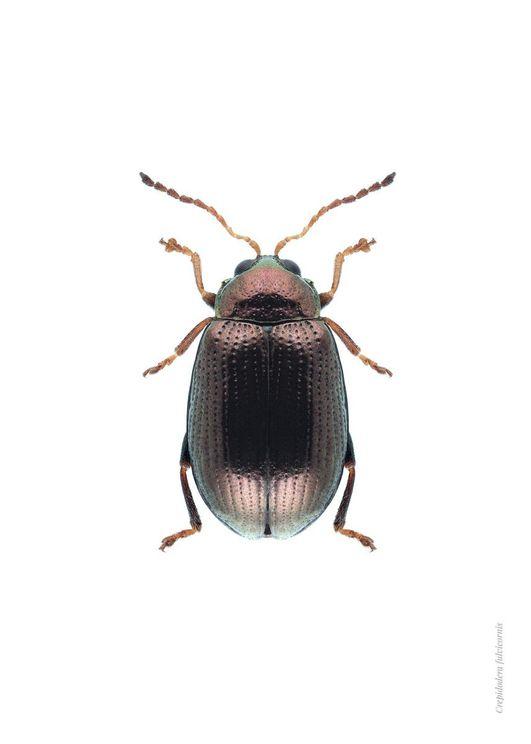 Bronze Beetle