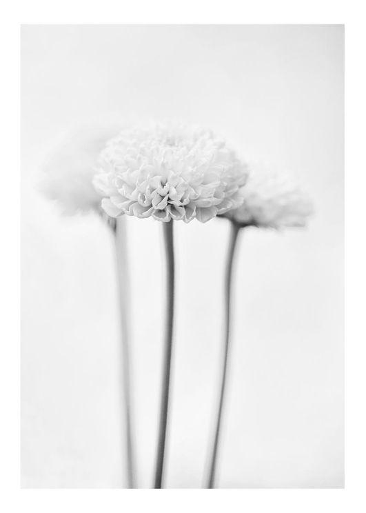 Chrysanthemum Black And White
