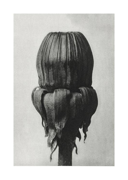 Common Dandelion By Karl Blossfeldt