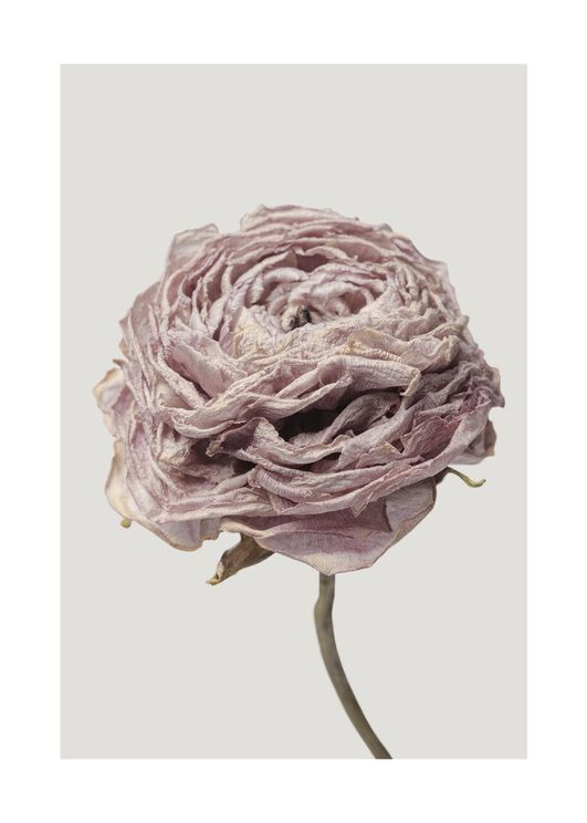 Dried Pink Flower