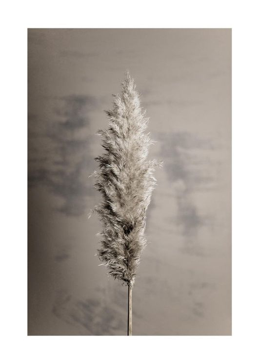 Dry Pampas Grass