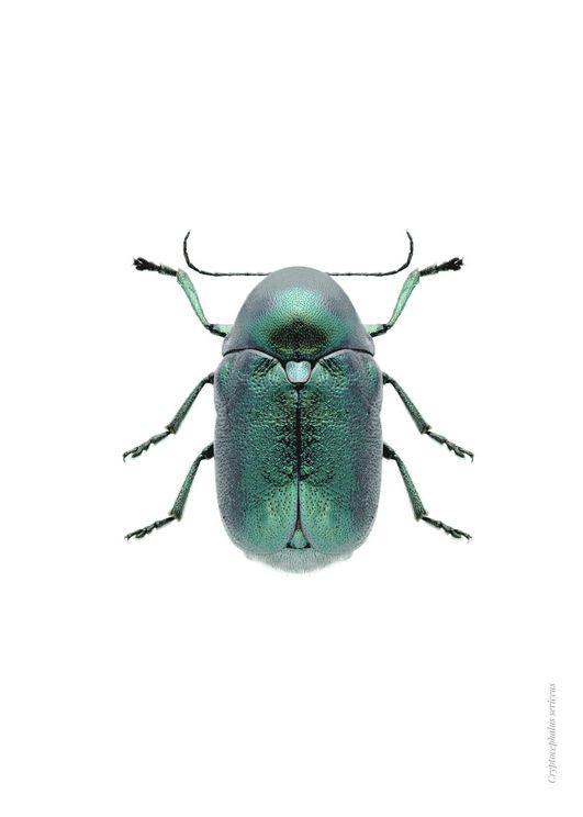 Mint Beetle