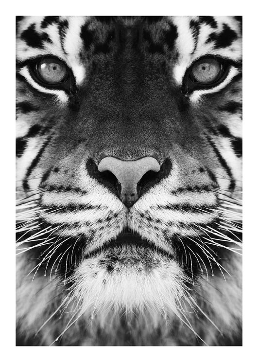 Tiger Front Black And White